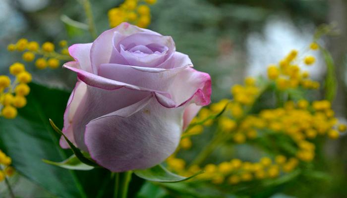Роза на фоне мимозы